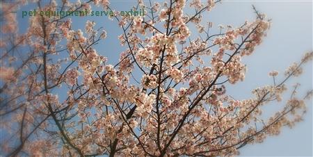 Sakurawide
