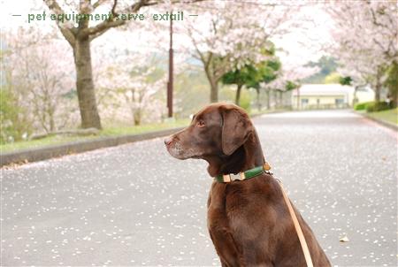 Sakura_mies